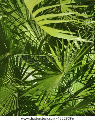 Tropical greens. Fan leaves of palm trees of tropical thickets. Green leaf. The leaf of a tropical plant lighted up by a beam of the sun. - stock photo
