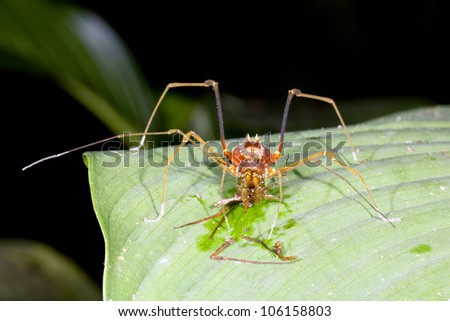 Tropical harvistman (Phalangid) on a leaf in the rainforest with remains of a prey item it was eating