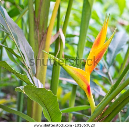 Tropical Heliconia - stock photo