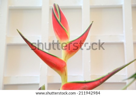 Tropical heliconia flower (Heliconia stricta) - stock photo