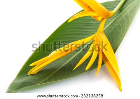 Tropical heliconia flower (Heliconia stricta), isolated on a white background - stock photo