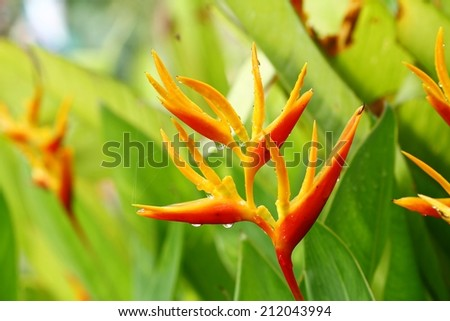 Tropical Heliconia isolated  - stock photo