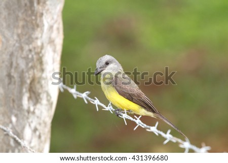 Tropical Kingbird (Tyrannus melancholicus) perched on a barbed wire fence line - stock photo