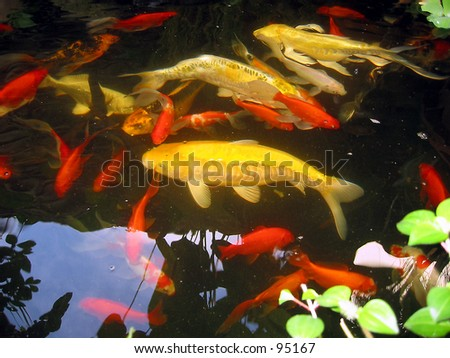 Azril zul mukhshar 39 s portfolio on shutterstock for Exotic koi fish