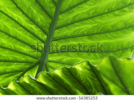 tropical leaf green background texture with copy space veins rainforest palm tree close-up jungle exotic vegetation - stock photo