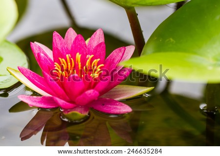 Tropical Lotus Flowers - stock photo