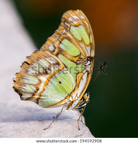 Tropical malachite butterfly (siproeta stelenes) - stock photo