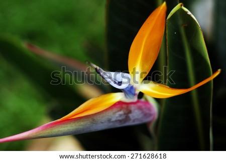 Tropical Mallowwort Mallow Bird of Paradise Strelitzia Reginae Flower Seeds - stock photo