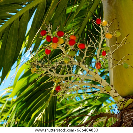 Manila palm stock images royalty free images vectors for Red and yellow christmas tree