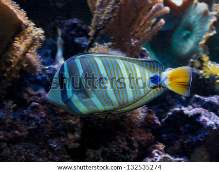 Tropical Marine Fish - Coral Reef