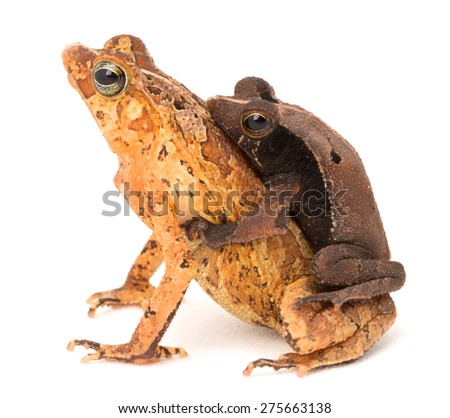tropical mating toads, Rhinella typhonius a small frog from the Amazon Rain forest of Brazil, Bolivia, Peru and Ecuador - stock photo