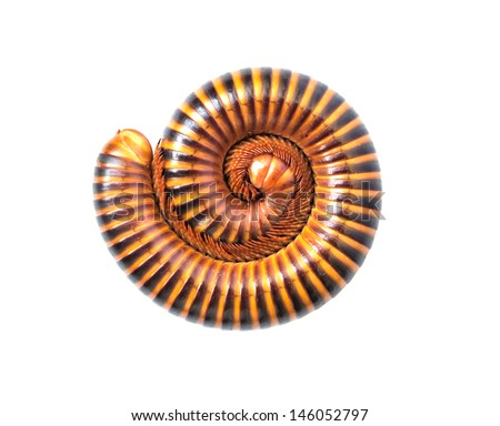 Tropical Millipede Isolated on white