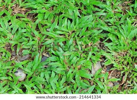 Tropical natural carpet grass background - stock photo