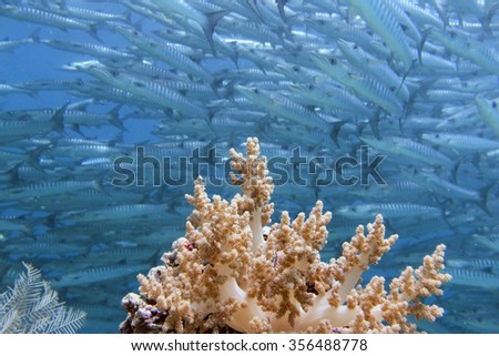 Tropical ocean reef and plants with Barracuda babies swimming in schools at slight murky background due to insufficient ambient lighting. - stock photo