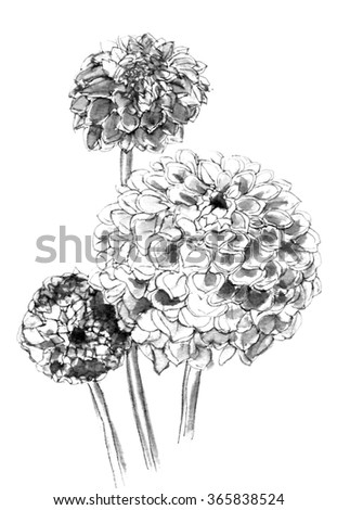 Tropical pale dahila flowers bouquet in blossom isolated on white background. Hand drawn watercolor botanical black and white monochrome illustration for wedding printing products, cards, invitation. - stock photo