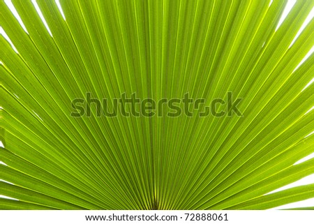 Tropical palm leaf with veins