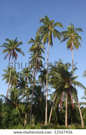 Tropical Palm Trees on Bohol, Philippines