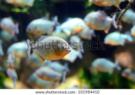Tropical piranha fishes in Aquarium