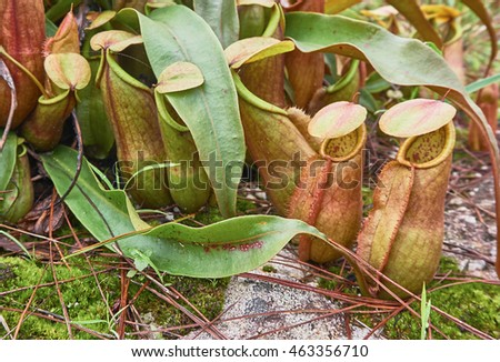tropical pitcher plant or monkey cup