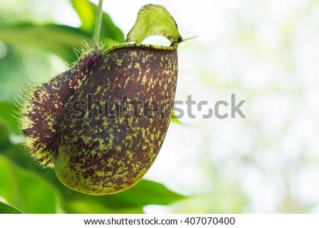 Tropical pitcher plants - stock photo