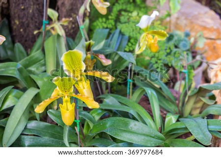tropical pitcher plants, monkey cups in the garden background - stock photo