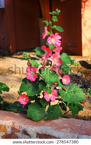 tropical plant with beautiful big pink flowers as a part of garden design of egyptian hotel resort - stock photo