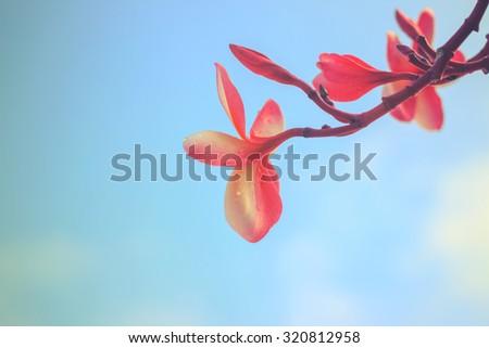 Tropical plumeria,drop water - instagram filter - stock photo