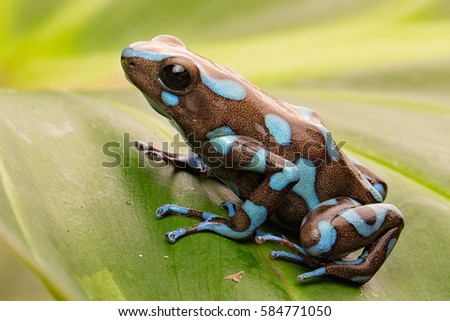 tropical poison dart frog from the exotic rain forest of Panama. Macro of a small poisonous rainforest animal. Dendrobates auratus.