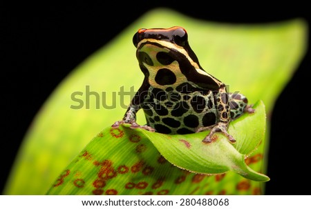tropical poison dart frog, Ranitomeya uakarii from the amazon rain forest in Peru, macro of a beautiful small rainforest animal - stock photo