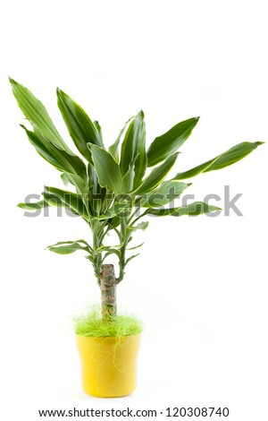 Tropical pot plant.