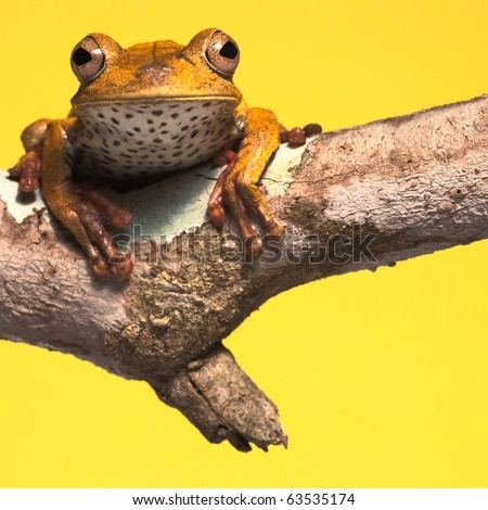 tropical rain forest tree frog on branch yellow background with copy space frog conservation jungle frog exotic frog amazon animal  treefrog endangered amphibian - stock photo