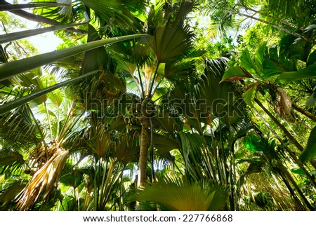 Tropical rain forest with Coco de Mer palms, Praslin, Seychelles