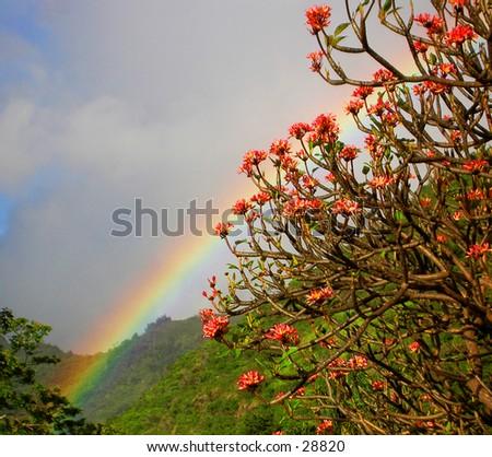 Tropical Rainbow: through the plumeria on a hillside in Manoa valley - stock photo