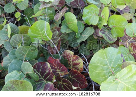 Tropical red green yellow sea grape shrub seen growing outside in nature during the day in Florida.  - stock photo