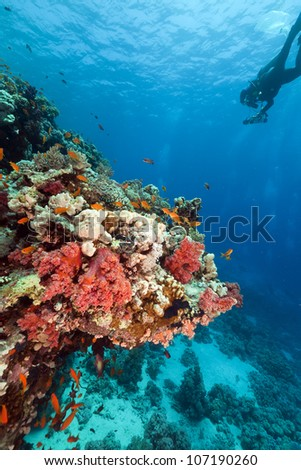 Tropical reef and diver in the Red Sea. - stock photo