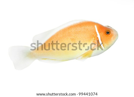 Tropical reef fish - Clownfish - isolated on white background. - stock photo