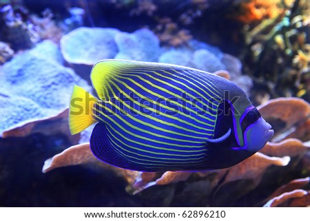 tropical sea surgeon fish in aquarium - stock photo