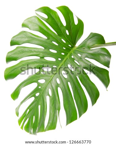 Tropical single leaf close up isolated on white - stock photo