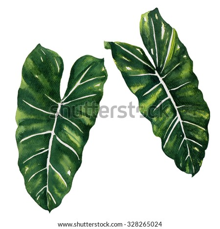 tropical Split Leaves plant botanic watercolor painting on white background - stock photo