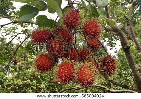 rambutan tree stock images, royaltyfree images  vectors, Natural flower