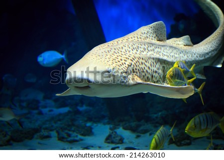 Tropical tiger shark swimming underwater - stock photo