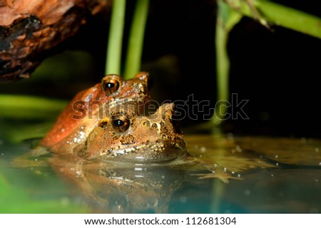 tropical toads mating - stock photo