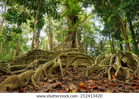tropical tree and roots in the jungle of Costa Rica - stock photo