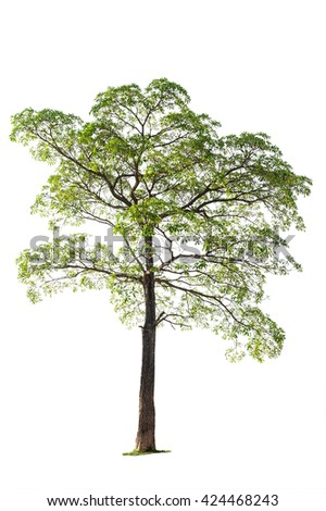 Tropical tree with branch isolated on white background
