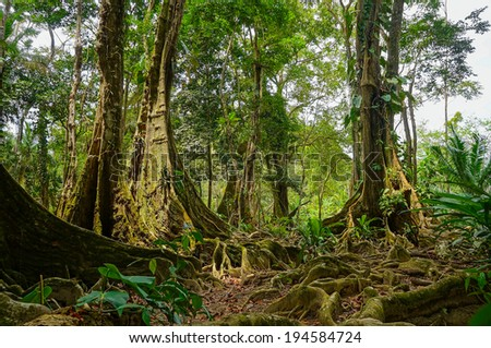 Tropical trees and roots in the jungle of Costa Rica - stock photo