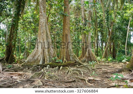 Tropical trees in the jungle of Costa Rica near Puerto Viejo de Talamanca, Caribbean side
