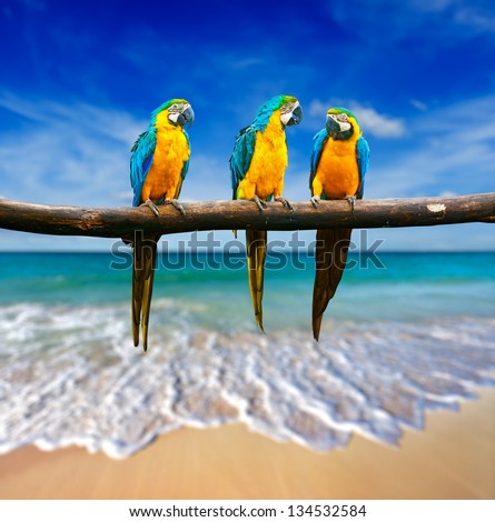 Tropical vacation concept - three parrots (Blue-and-Yellow Macaw (Ara ararauna) also known as the Blue-and-Gold Macaw ) on tropical beautiful beach and  sea - stock photo
