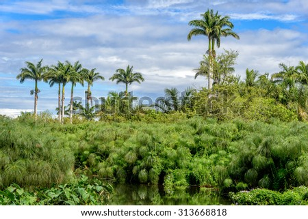 Tropical vegetation with palm trees and papyrus near water, Saint Paul, Reunion island