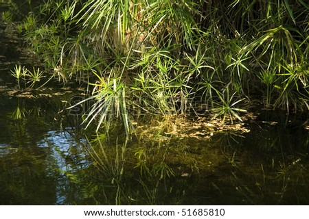 Tropical view. papyrus plants and water - stock photo