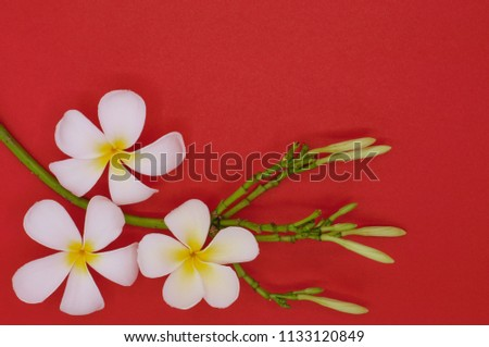 Tropical White Color Frangipani Or Plumeria Flowers Set As Background Wallpaper Isolated On Red